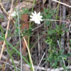Actinotus minor (Lesser Flannel Flower) at Morton National Park - 13 May 2018 by Stewart