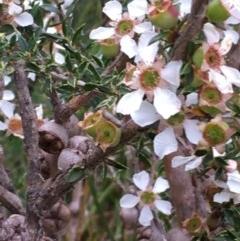 Leptospermum squarrosum at Morton National Park - 13 May 2018 by Stewart