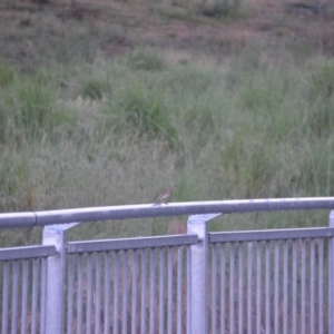 Anthus novaeseelandiae at Jerrabomberra Wetlands - 29 Oct 2016
