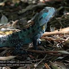 Intellagama lesueurii howittii (Gippsland Water Dragon) at Hazel Rowbotham Reserve Walking Track - 22 Feb 2018 by Charles Dove