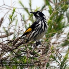 Phylidonyris novaehollandiae (New Holland Honeyeater) at One Track For All - 25 Feb 2018 by Charles Dove