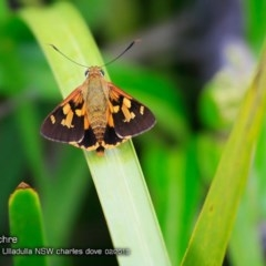 Trapezites symmomus (Splendid Ochre) at One Track For All - 25 Feb 2018 by Charles Dove
