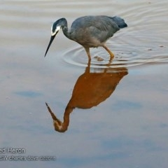 Egretta novaehollandiae (White-faced Heron) at Undefined - 27 Feb 2018 by Charles Dove