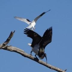 Elanus axillaris (Black-shouldered Kite) at Jerrabomberra Wetlands - 9 May 2018 by roymcd
