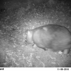Vombatus ursinus (Bare-nosed Wombat) at FS Private Property - 5 Nov 2016 by Stewart