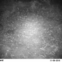 Perameles nasuta (Long-nosed Bandicoot) at FS Private Property - 6 Nov 2016 by Stewart