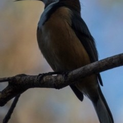 Acanthorhynchus tenuirostris (Eastern Spinebill) at Morton National Park - 13 May 2018 by Stewart