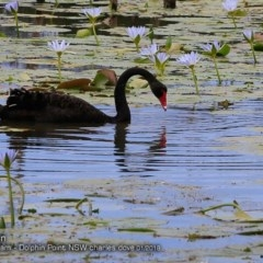 Cygnus atratus (Black Swan) at Wairo Beach and Dolphin Point - 17 Jan 2018 by Charles Dove