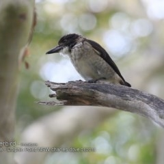 Cracticus torquatus (Grey Butcherbird) at Wairo Beach and Dolphin Point - 18 Jan 2018 by Charles Dove