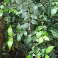 Backhousia myrtifolia (Grey Myrtle) at FS Private Property - 15 May 2018 by Stewart