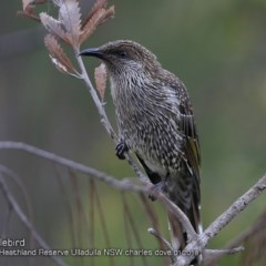 Anthochaera chrysoptera (Little Wattlebird) at South Pacific Heathland Reserve - 18 Jan 2018 by Charles Dove