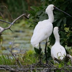 Platalea regia (Royal Spoonbill) at Wairo Beach and Dolphin Point - 15 Jan 2018 by Charles Dove