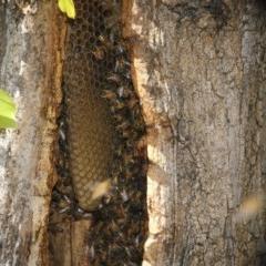Apis mellifera (European honey bee) at City Renewal Authority Area - 15 May 2018 by AlisonMilton