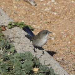 Malurus cyaneus (Superb Fairywren) at Commonwealth & Kings Parks - 15 May 2018 by Alison Milton