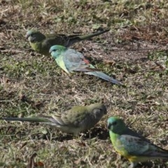 Psephotus haematonotus (Red-rumped Parrot) at Commonwealth & Kings Parks - 15 May 2018 by Alison Milton