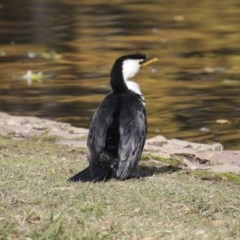 Microcarbo melanoleucos (Little Pied Cormorant) at Commonwealth & Kings Parks - 15 May 2018 by Alison Milton