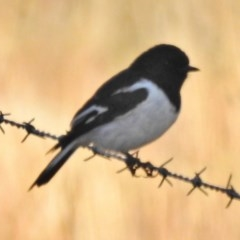 Melanodryas cucullata (Hooded Robin) at Tennent, ACT - 15 May 2018 by JohnBundock