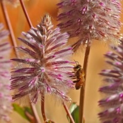 Apis mellifera (European honey bee) at ANBG - 15 May 2018 by RodDeb
