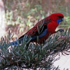 Platycercus elegans (Crimson Rosella) at ANBG - 15 May 2018 by RodDeb