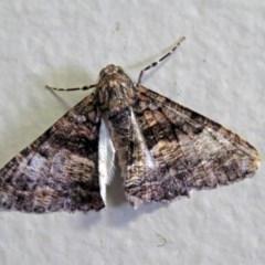 Gastrinodes argoplaca (Cryptic Bark Moth) at ANBG - 15 May 2018 by RodDeb