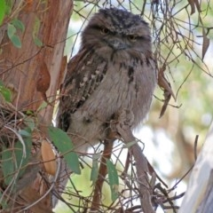 Podargus strigoides (Tawny Frogmouth) at ANBG - 15 May 2018 by RodDeb