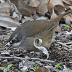 Sericornis frontalis (White-browed Scrubwren) at ANBG - 15 May 2018 by RodDeb