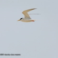 Sternula albifrons (Little Tern) at Wairo Beach and Dolphin Point - 24 Jan 2018 by Charles Dove