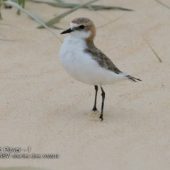Charadrius ruficapillus (Red-capped Plover) at Wairo Beach and Dolphin Point - 23 Jan 2018 by Charles Dove
