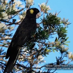 Calyptorhynchus funereus (Yellow-tailed Black-cockatoo) at Undefined - 27 Jan 2018 by Charles Dove