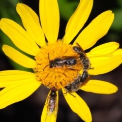 Lasioglossum (Chilalictus) lanarium (Halictid bee) at Evatt, ACT - 26 Oct 2015 by Tim L