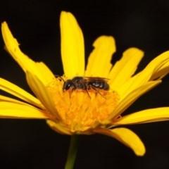 Lasioglossum (Chilalictus) sp. (genus & subgenus) (Halictid bee) at Evatt, ACT - 30 Oct 2015 by Tim L
