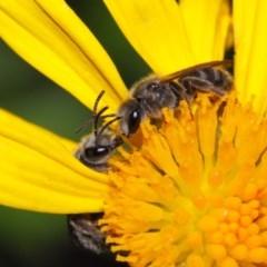 Lasioglossum (Chilalictus) sp. (genus & subgenus) (Halictid bee) at Evatt, ACT - 6 Nov 2015 by TimL
