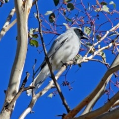 Coracina novaehollandiae (Black-faced Cuckooshrike) at Jerrabomberra Wetlands - 15 May 2018 by RodDeb