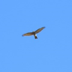 Accipiter cirrocephalus (Collared Sparrowhawk) at Jerrabomberra Wetlands - 16 May 2018 by RodDeb