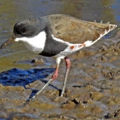 Erythrogonys cinctus (Red-kneed Dotterel) at Jerrabomberra Wetlands - 16 May 2018 by RodDeb