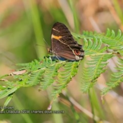 Tisiphone abeona (Varied Swordgrass Brown) at Coomee Nulunga Cultural Walking Track - 26 Jan 2018 by Charles Dove