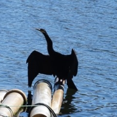 Anhinga novaehollandiae (Australasian Darter) at Lake Burley Griffin West - 16 May 2018 by Mike