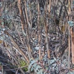 Eucalyptus perriniana (Spinning gum) at Namadgi National Park - 14 May 2018 by Philip