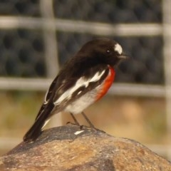 Petroica boodang (Scarlet Robin) at Woodstock Nature Reserve - 16 May 2018 by Christine