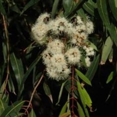 Angophora floribunda (Rough-barked Apple) at Undefined - 18 May 2018 by Stewart