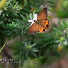 Hypocysta metirius (Brown Ringlet) at Coomee Nulunga Cultural Walking Track - 4 Mar 2018 by Charles Dove