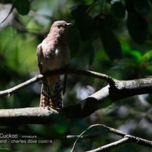 Cacomantis flabelliformis at Comerong Island Nature Reserve - 5 Mar 2018