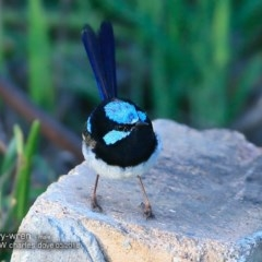 Malurus cyaneus (Superb Fairy-wren) at Undefined - 5 Mar 2018 by Charles Dove