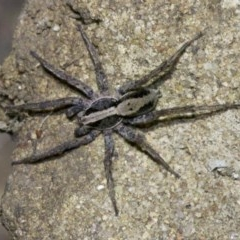 Lycosidae sp. (family) (Unidentified wolf spider) at Ainslie, ACT - 18 May 2018 by jbromilow50