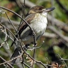 Cracticus torquatus (Grey Butcherbird) at Jerrabomberra Wetlands - 18 May 2018 by RodDeb