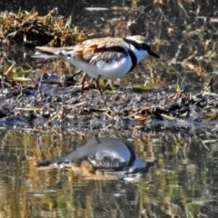 Elseyornis melanops (Black-fronted Dotterel) at Jerrabomberra Wetlands - 18 May 2018 by RodDeb