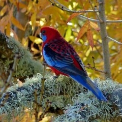 Platycercus elegans (Crimson Rosella) at Brogo, NSW - 19 May 2018 by MaxCampbell
