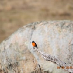 Petroica phoenicea (Flame Robin) at Namadgi National Park - 17 May 2018 by ChrisHolder