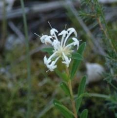 Pimelea linifolia subsp. linifolia at Conjola Bushcare - 19 May 2018
