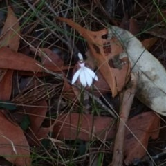 Caladenia picta (Painted fingers) at Conjola Bushcare - 19 May 2018 by Stewart